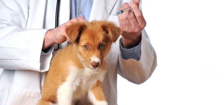 hepatite infeciosa canina vacina em cachorro