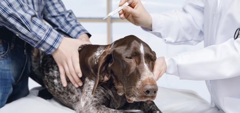 hepatite infeciosa canina cao com febre