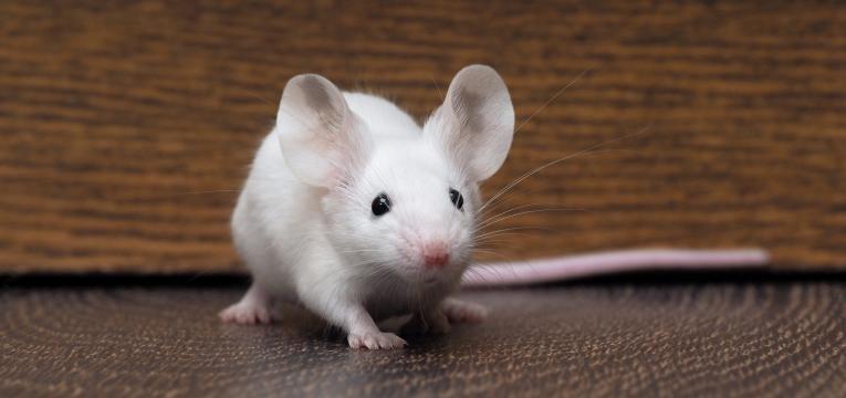 leptospirose rato