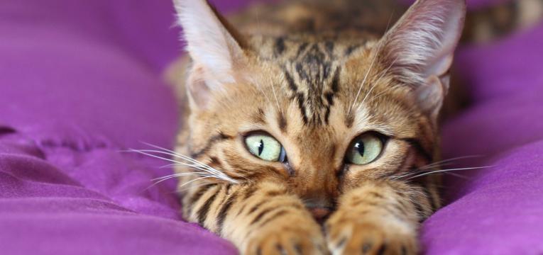 conjuntivite no gato