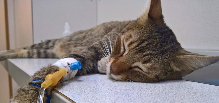 plantas toxicas para gatos gato hospitalizado