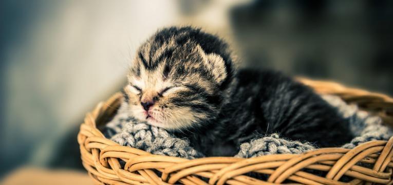 como cuidar de um gato recem-nascido gato na cesta