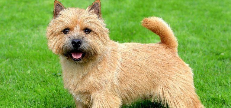 caes de raca inglesa norwich terrier
