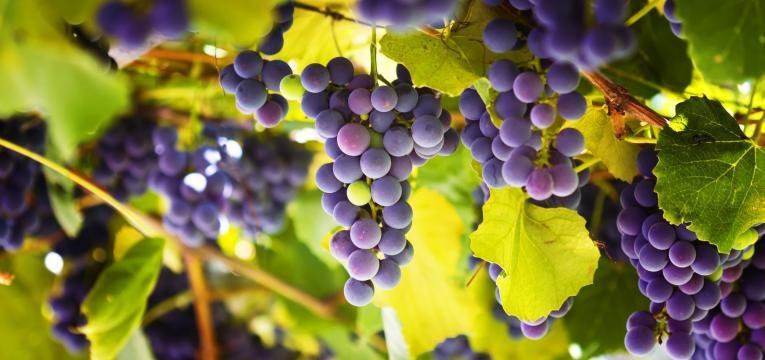 alimentos perigosos para caes uvas