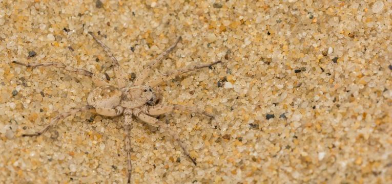 picada de peixe aranha na areia