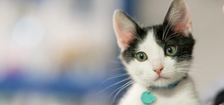 quantidade de alimento deve dar ao seu gato gatinho pequeno