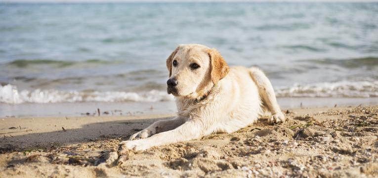 levar o cao a praia cao deitado na areia
