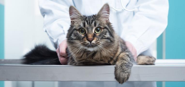 acaros em gatos veterinario a ver pelo de gato