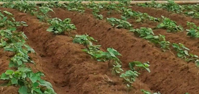 produção de batata-doce em como plantar batata-doce