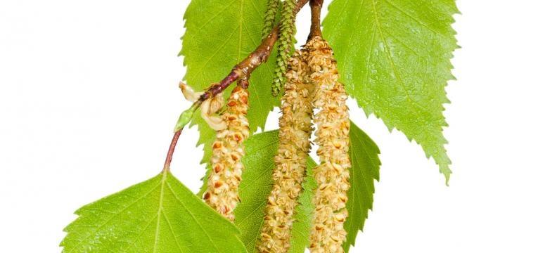 folhas de betula