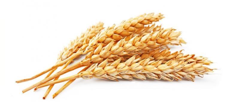 trigo espiga
