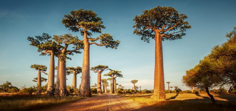 árvore da vida baobab
