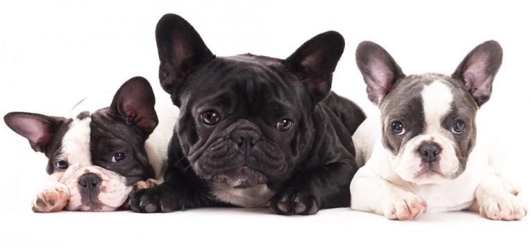 Raças de cães que não conseguem nadar: Buldogue