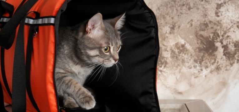 gato na transportadora