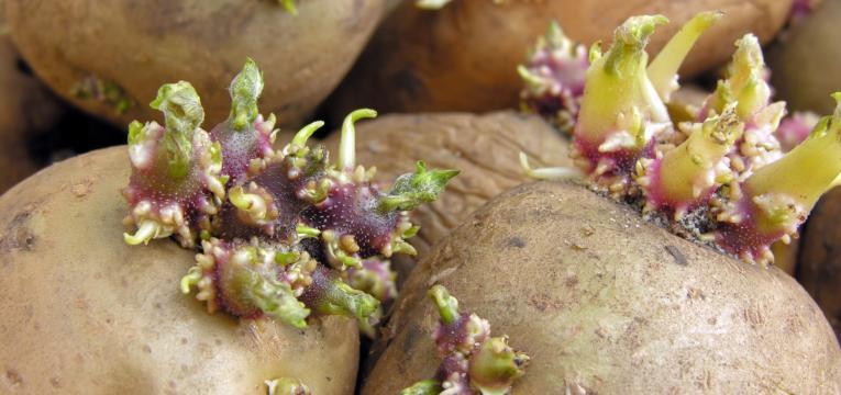 germinação do tubérculo e plantar batata-doce