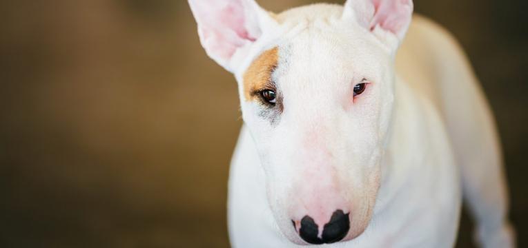 racas de caes para quem tem criancas bull terrier