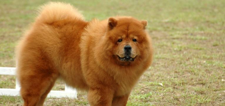 Raças de cães que não conseguem nadar: Chow Chow