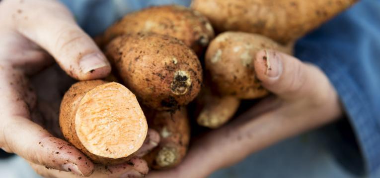 colheita de batata-doce em como plantar batata-doce