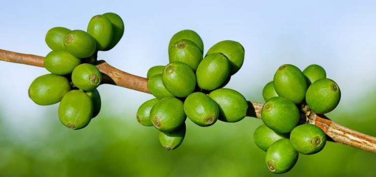 extracao dos graos de cafe verde