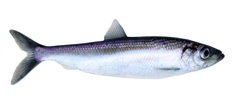 arenque e peixe gordo