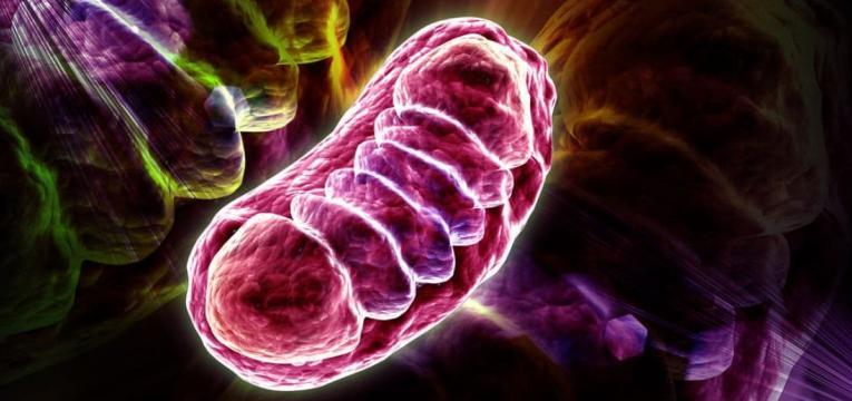 mitocôndrias e L-carnitina