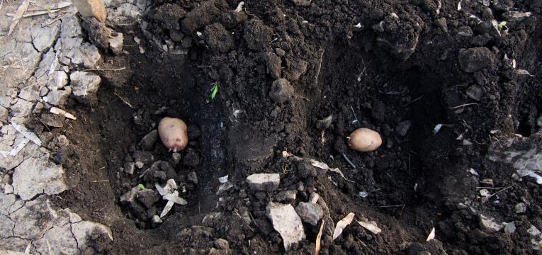 preparação do solo e como plantar batata-doce