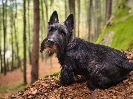 Scottish Terrier: tudo o que precisa de saber sobre esta raça