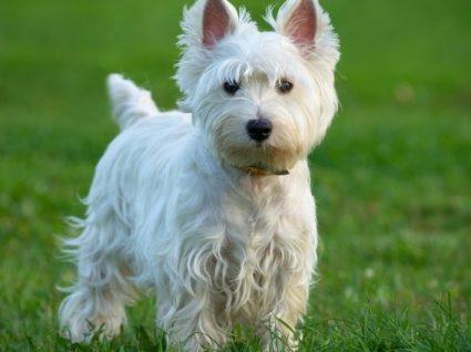 West Highland White Terrier: tudo o que precisa de saber sobre esta raça