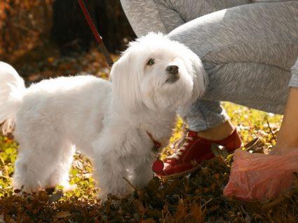Porque é que os cães comem fezes? 5 Razões aparentes e como evitar este problema