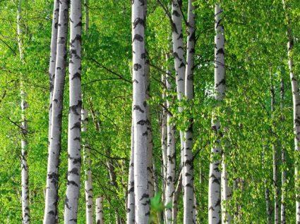 Bétula: conheça os benefícios desta planta e da sua água