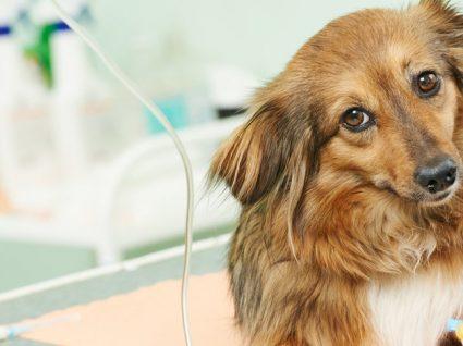 Castrar a cadela: conheça mais sobre esta prática