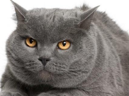 Chartreux: tudo o que precisa de saber sobre esta raça