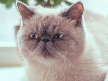Gato Exótico: tudo o que precisa de saber sobre estar raça