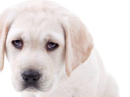 Parvovirose canina: uma infeção que pode afetar o seu cachorro