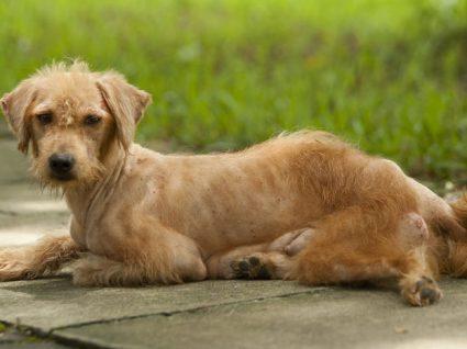 Sarna canina: tudo sobre esta doença de pele