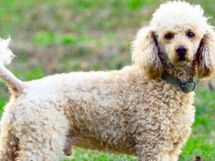 Caniche (ou Poodle): tudo o que precisa de saber sobre esta raça