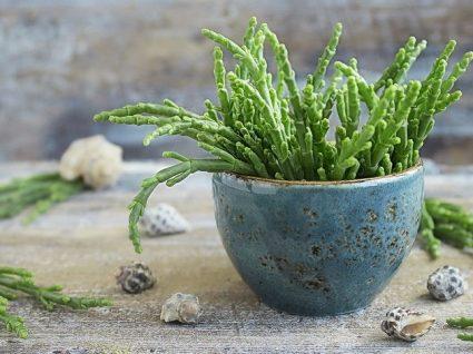 Salicórnia: uma alternativa vegetal ao consumo de sal