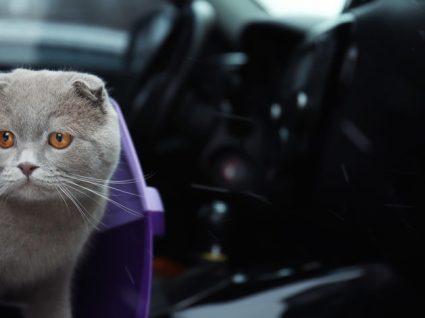 Guia de cuidados para viajar com o seu gato em segurança