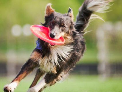 Brinquedos para cães: horas e horas de diversão
