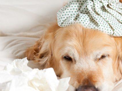 Gripe canina: saiba mais sobre esta infeção respiratória