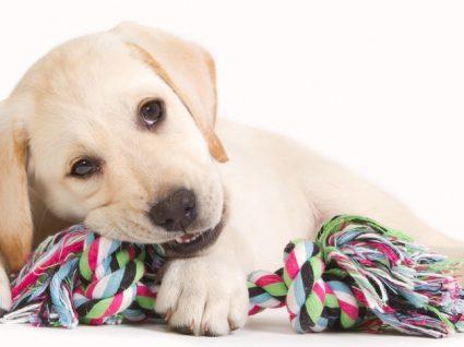 Os melhores brinquedos para cães bebés: quando os dentes começam a nascer