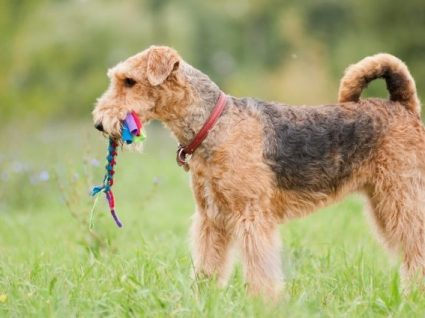 Airedale Terrier: tudo o que precisa de saber sobre esta raça