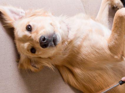 anestesia para tosquiar o cão: o que saber