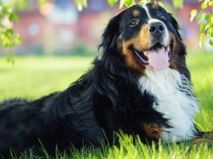 Bernese Mountain Dog: tudo o que precisa de saber sobre esta raça
