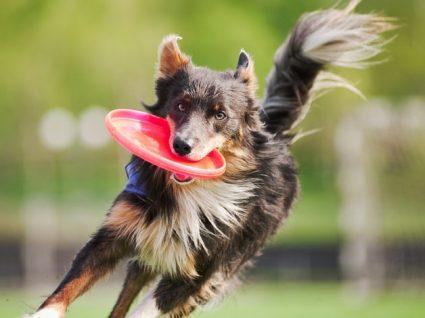 Raças de cães mais enérgicas: conheça alguns exemplos