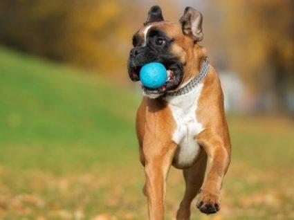 Boxer: tudo o que precisa de saber sobre esta raça