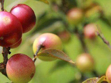 Camu Camu: o seu concentrado de vitamina C
