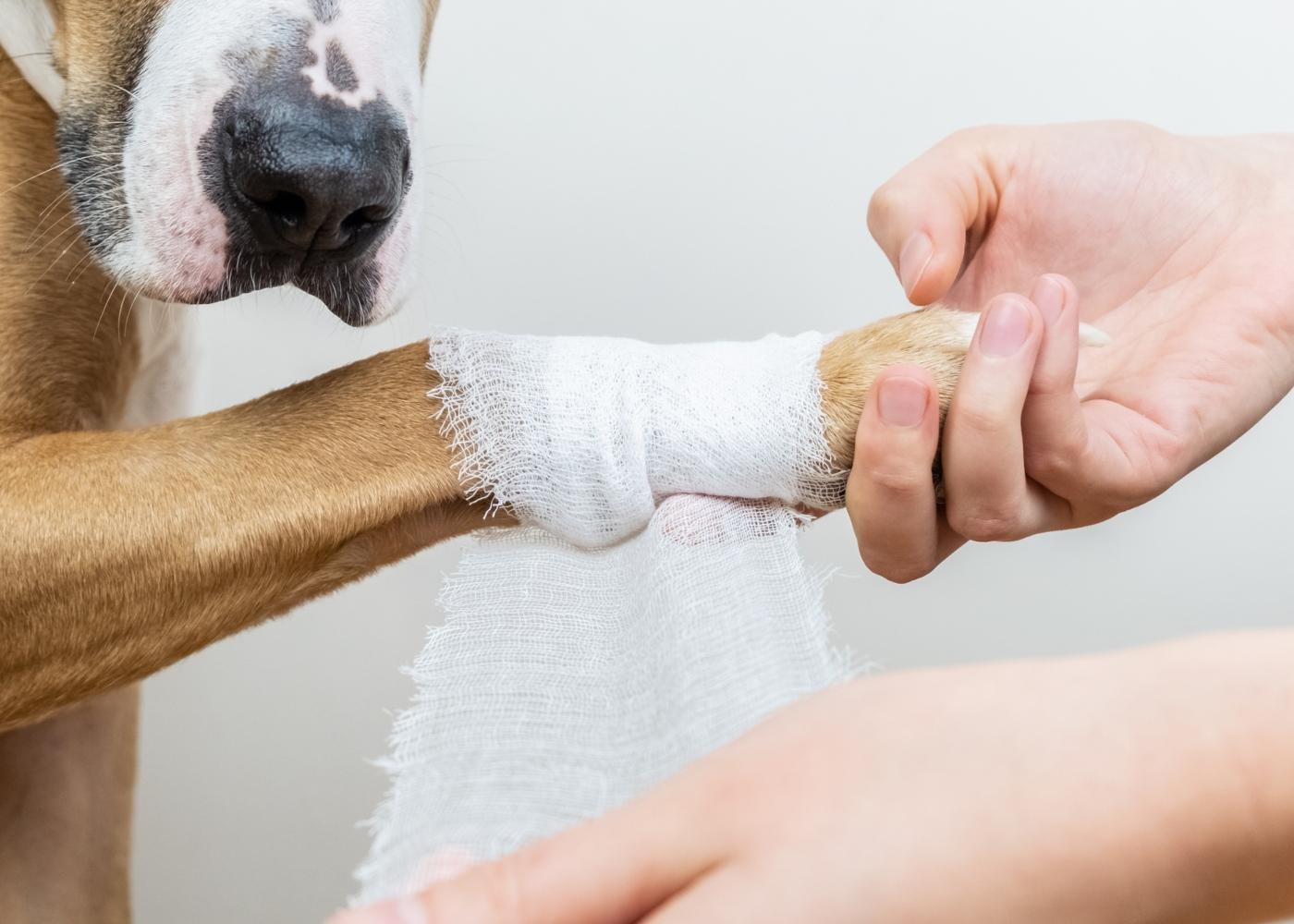 Cão com luxação na rótula