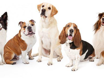 Raças de Cães de porte Médio: tudo o que precisa saber sobre estes cães
