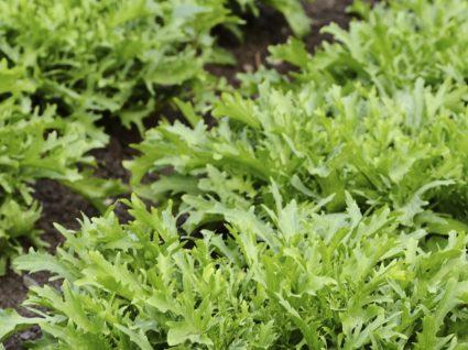 Chicória: a super-verdura europeia